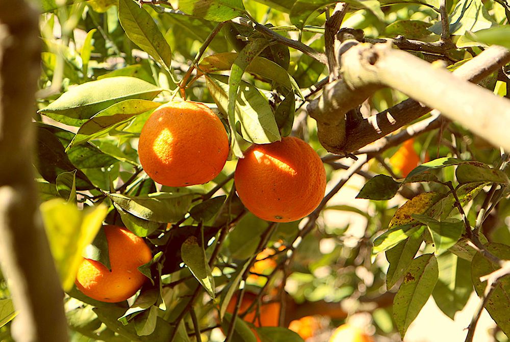 Fresh orange in Sicily